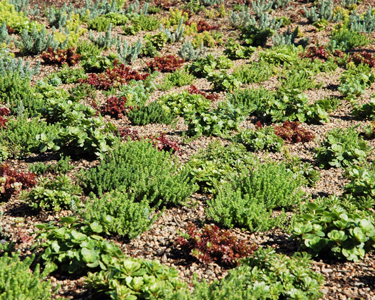 green_roof_sedum
